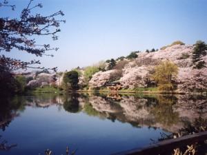 県立三ツ池公園の桜の開花状況!駐車場は混雑する?桜まつりは?