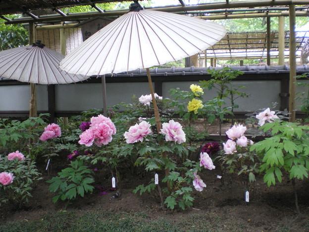 上野東照宮 春のぼたん祭りの見所をご紹介します。駐車場はある?