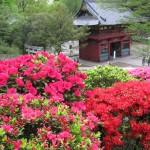 根津神社文京つつじまつり2015の見頃や開花状況は?混雑状況は?