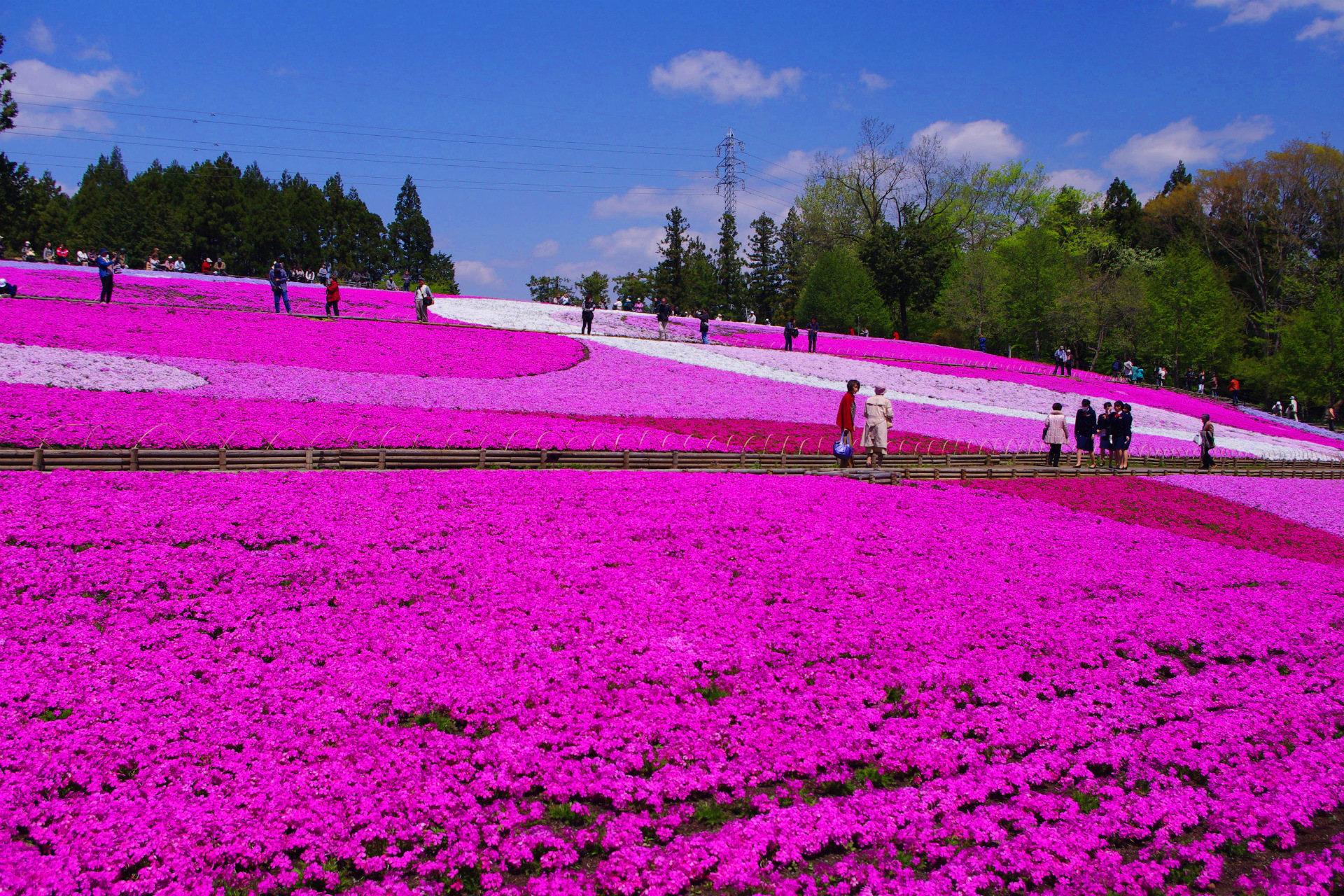 秩父 羊山公園の芝桜の開花や見頃は?入園料や駐車場、混雑状況は?