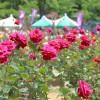 バラ祭り与野公園の日程やイベント情報!開花状況や駐車場は?